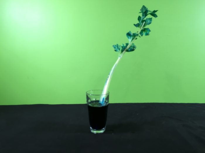 Celery Transpiration Science Experiment - sitting celery in blue water (after a few hours)(2)